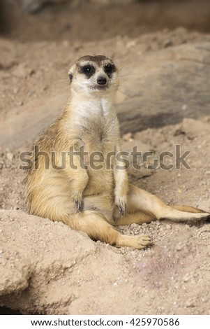 Meerkat sitting on the sand in open zoo