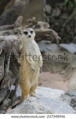 Meerkat stand up - stock photo