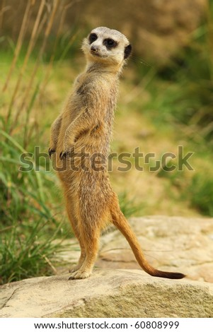 Meerkat standing upright - stock photo