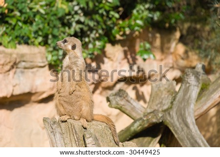 Meerkat (Suricate) Looking Left - stock photo