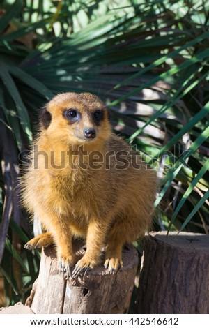 Meerkat (Surikate) in the Zoo of Barcelona - stock photo