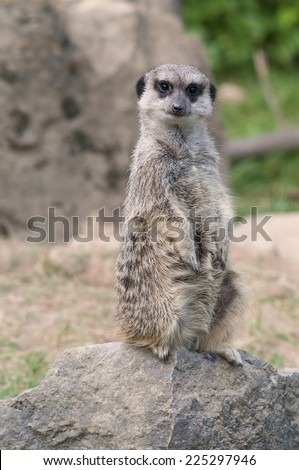 meerkat watching out for any danger - stock photo