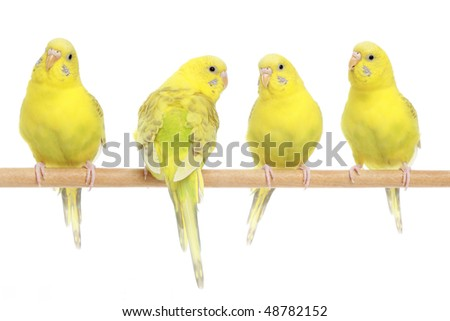 Meeting of four budgerigar. Isolated on a white background - stock photo