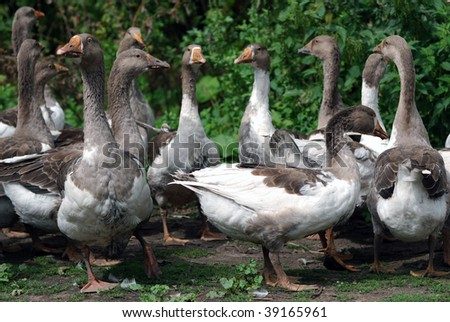 Meeting of geese community - stock photo