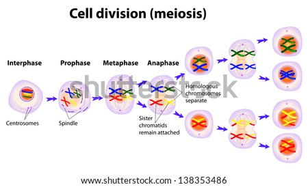 Meiosis. Cell division. diagram - stock photo