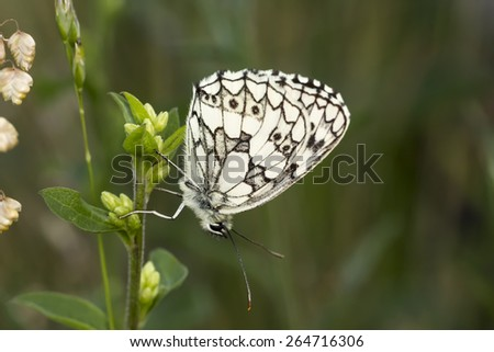 Melanargia galathea,Marbled White butterfly from Lower Saxony,Germany - stock photo