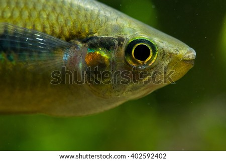 Melanotaenia herbertaxelrodi, the lake Tebera rainbowfish. One of the most famous fresh water fish species in the aquarium hobby.