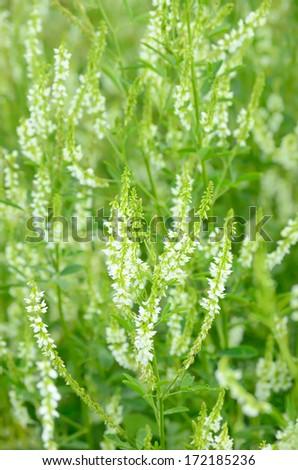 Melilotus albus flowers on meadow, soft focus - stock photo