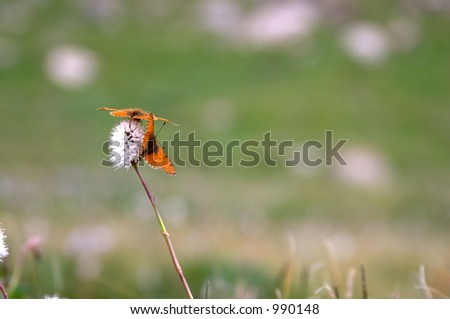 Melitean butterfly on the flower in the mountains of Kyrgyzstan - stock photo