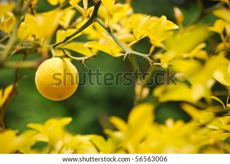 Mellow lemon hanging on spiny branch - stock photo