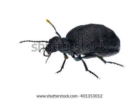 Meloe sp. blister beetle isolated on white