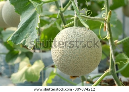 Melon growing in a greenhouse in farm Thailand - stock photo