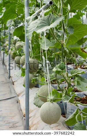 Melon In Green House