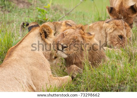 Members of the Masai Mara's Marsh Pride of lions grooming each other after a meal - stock photo