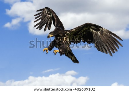 Menace in the sky. A juvenile bald eagle has its talons ready in place to grab its prey.