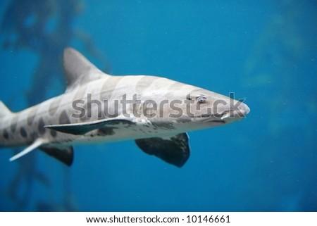 Menacing Leopard Shark - stock photo
