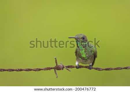 Menacing looking hummingbird sits on a barbed wire fence. - stock photo