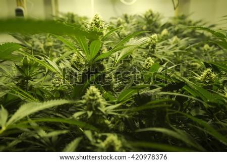 Mendocino California interior medical marijuana cultivation - stock photo