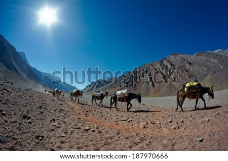 MENDOZA, ARGENTINA - JAN 12: Mules carrying climber's equipment. Mules are the only way for move load the 27 KM distance to the base camp on Jan 12, 2014 in Aconcagua Mount, Mendoza, Argentina  - stock photo