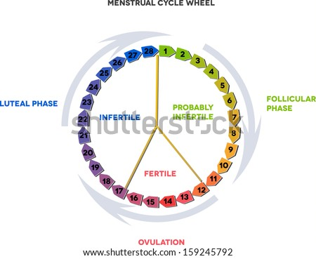 Menstrual Cycle Calendar Detailed Diagram Female Stock Vector