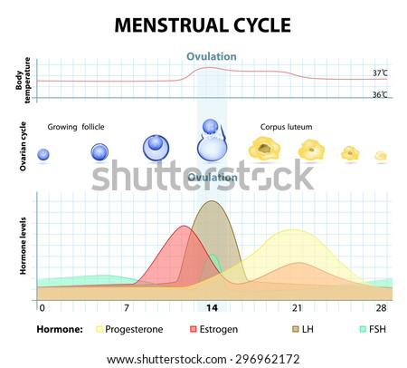 Menstrual cycle increase decrease hormones graph stock illustration menstrual cycle increase and decrease of the hormones graph also depicts the growth of ccuart