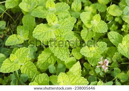 Mentha rotundifolia, Wild plant - stock photo