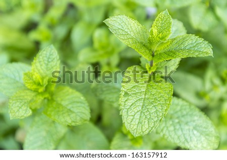 Mentha spicata (Spearmint or Spear Mint) leaves growing in a garden - stock photo