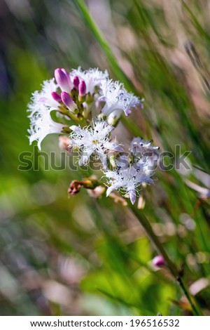Menyanthes Trifoliata, Bog-bean or Buckbean - stock photo