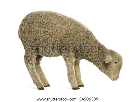Merino lamb, 4 months old, standing in front of white background - stock photo