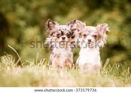 merle chihuahua - stock photo