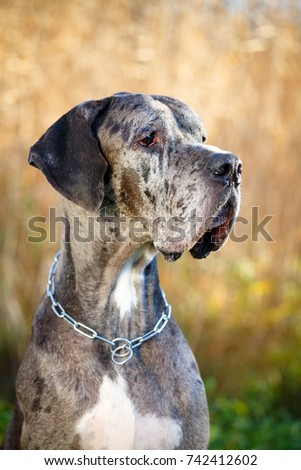 Merle great dane dog