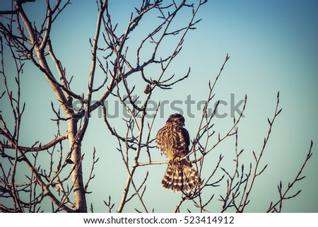 Merlin falcon with training jesses on a bare branch with blue sky.