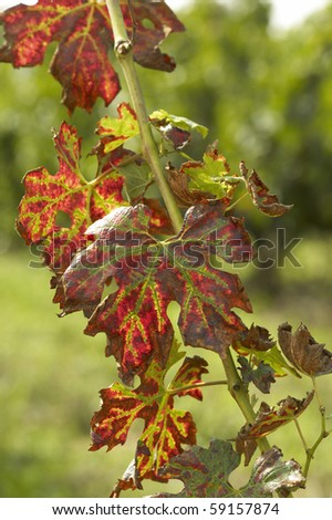 Merlot grape - stock photo