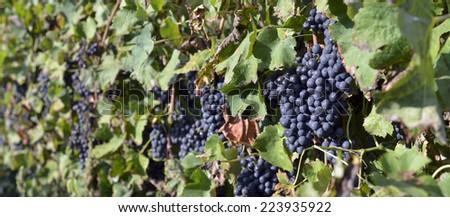 merlot grapes on the vine - stock photo