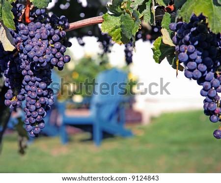 Merlot Grapes on Vine in Vineyard - stock photo