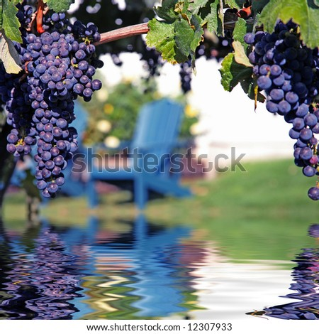 Merlot Grapes on Vine in Vineyard Reflecting in Water - stock photo