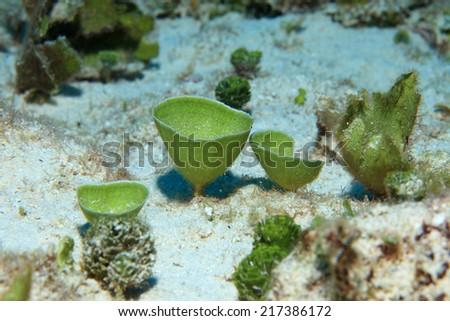 Mermaids tea cup algae (Udotea cyathiformis)on the sea floor of the caribbean sea - stock photo