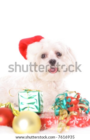Merry Christmas Maltese - stock photo