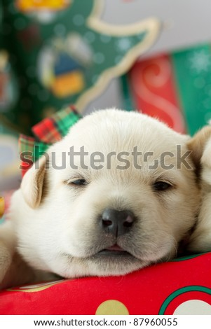 Merry Christmas -  puppy in a Christmas gift - stock photo