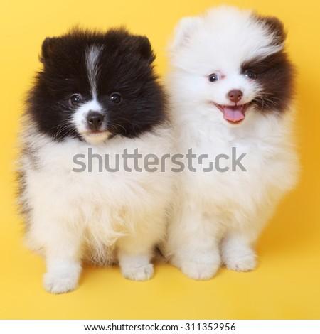 merry cute little spitz puppies - stock photo