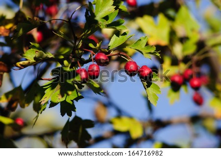 Mespilus germanica (Common medlar)  - stock photo