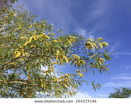 Mesquite tree twigs with blooming flowers in spring time - stock photo