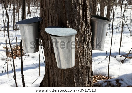 Metal Maple Sap Buckets Attached To A Tree Collecting Sap For The Production Of Canadian Maple Syrup - stock photo