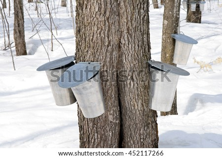 Metal pails on trees for collecting sap to produce maple syrup. - stock photo