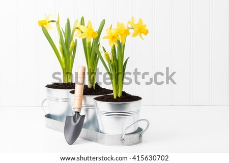 Metal planter holding three beautiful spring daffodils. - stock photo
