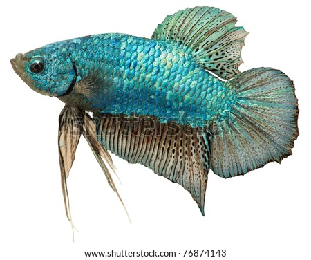 Metallic blue plakat isolated in white background.  Short finned betta. Betta Splendens. - stock photo