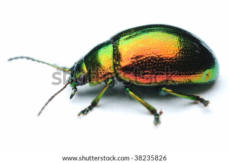 metallic leaf beetle on a white background - stock photo