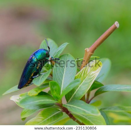 Metallic wood-boring beetle on tree in nature,Thailand - stock photo