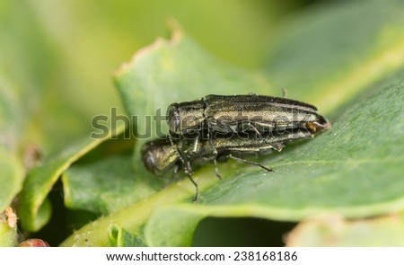 Metallic wood boring beetles, Agrilus, Buprestideae mating on leaf  - stock photo