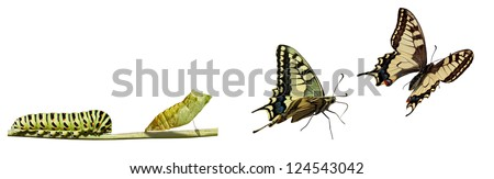 Metamorphosis (life cycle) of the Swallowtail (Papilio machaon). 3 different instars (stages). New better file. - stock photo